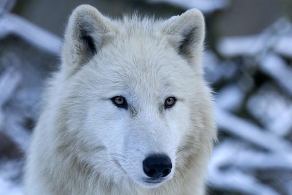 polarwolf portraet