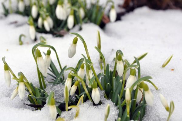 schneegloeckchen im fruehling