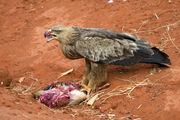 raubvogel mit beute