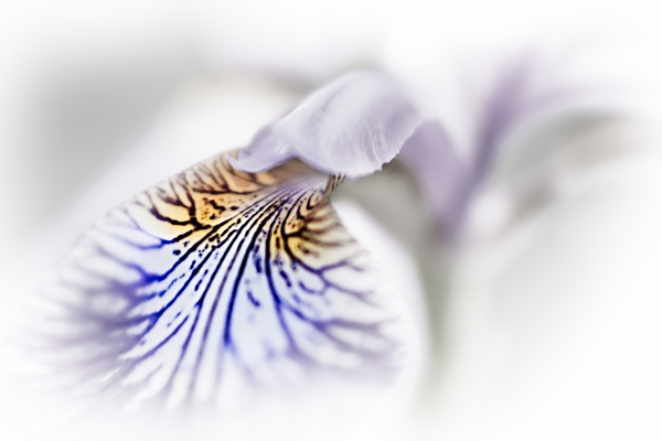 purple blur iris versicolor