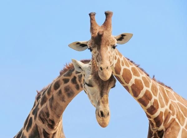 giraffe paar in der liebe