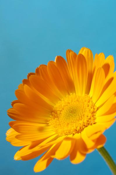 orange daisy blume