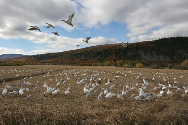 schneegaense in naturschutzgebiet kanada