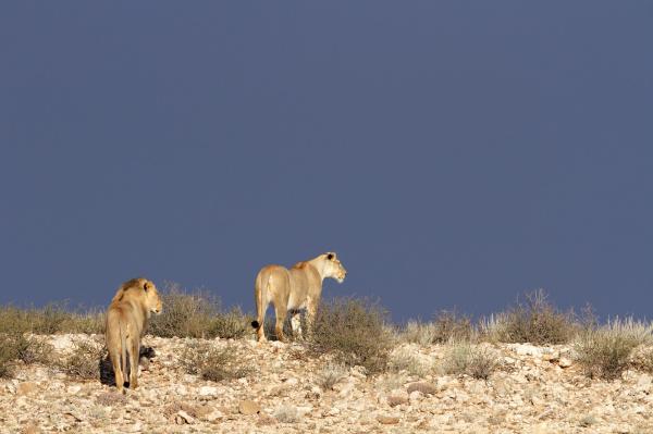 wueste afrikanische loewen