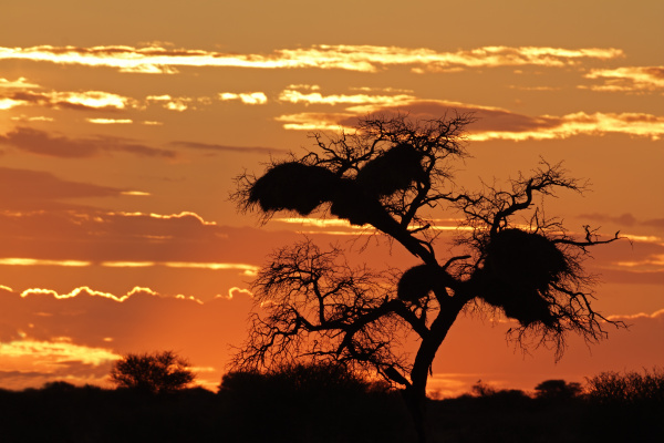 afrikanischen sonnenuntergang mit silhouetted baum