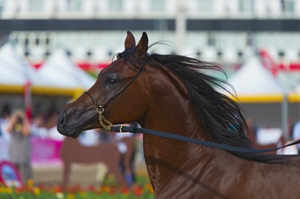 show arabischer pferde in salerno