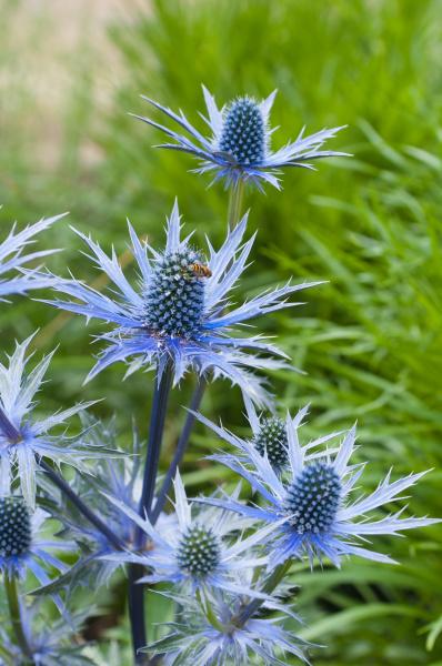 zweig bluehende disteln blaue stechnis