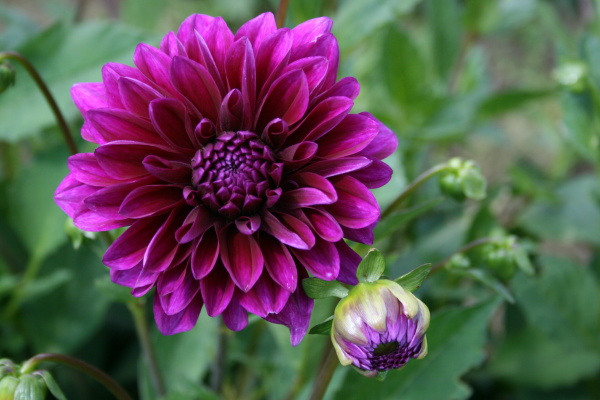 violette pracht