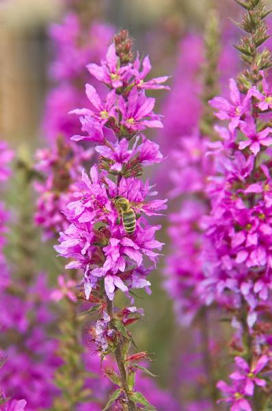 insekt auf rosa bluete