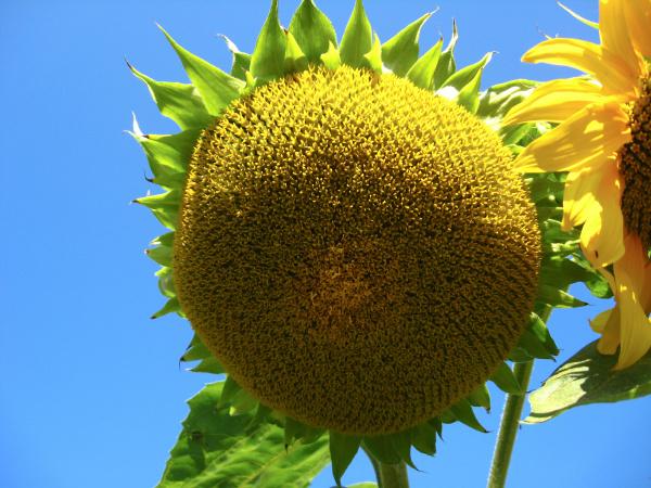 oberflaeche der schoenen gelben sonnenblumen