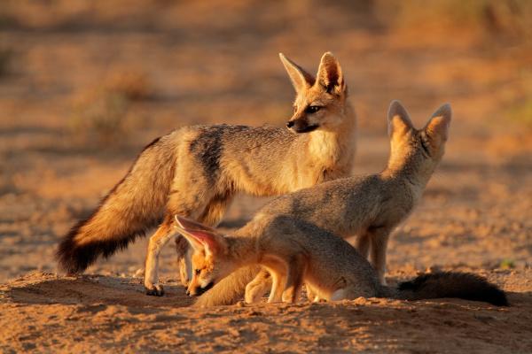 cape fox familie