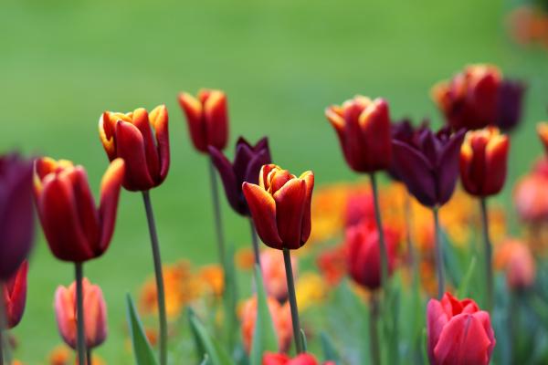 bunte tulpenblueten