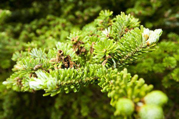 blatt baumblatt detail baum kiefer nadelbaum