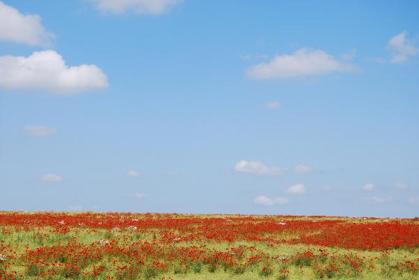 rote mohnfeld auf einem blauen himmel