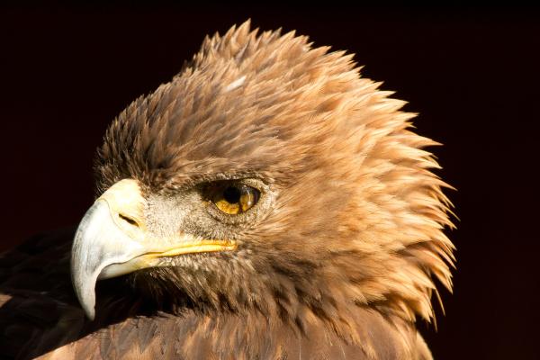 tier vogel adler habicht natur kopf