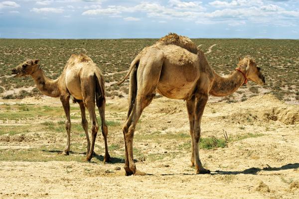 kleine kamele