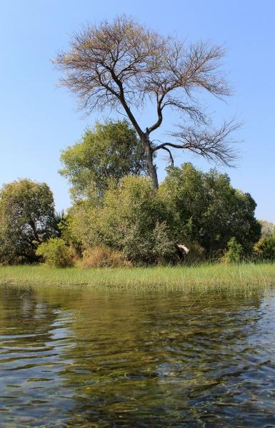 okavango delta wasser und cyperus papyrus