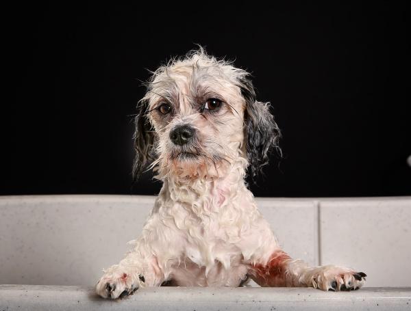 reinrassige havaneser hund