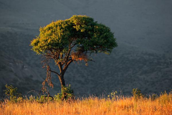 baum afrika outdoor freiluft freiluftaktivitaet im