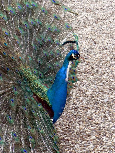 balzender blauer pfau pavo cristatus