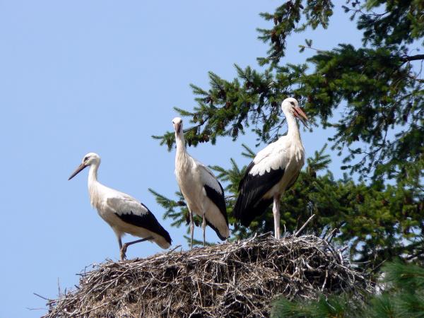 nest mit drei weissstoerchen ciconia