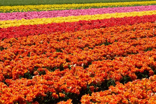 hintergrund der tulpen feld verschiedene farben