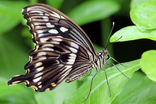 tropischer ritterfalter papilio spec
