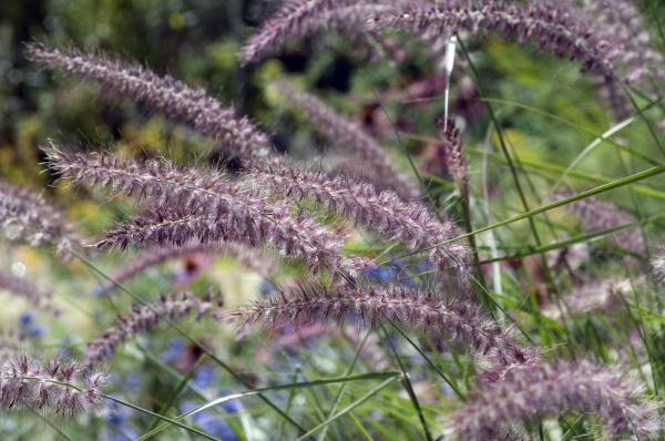 lampenputzergras pennisetum orientale
