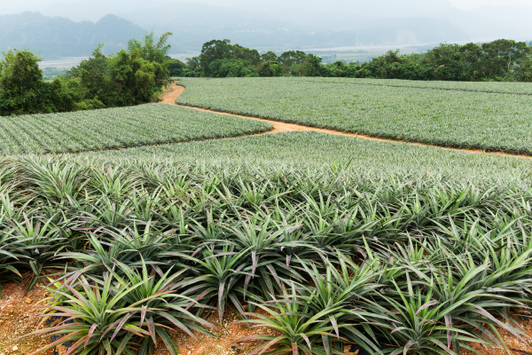 ananas feld in taitung taiwan