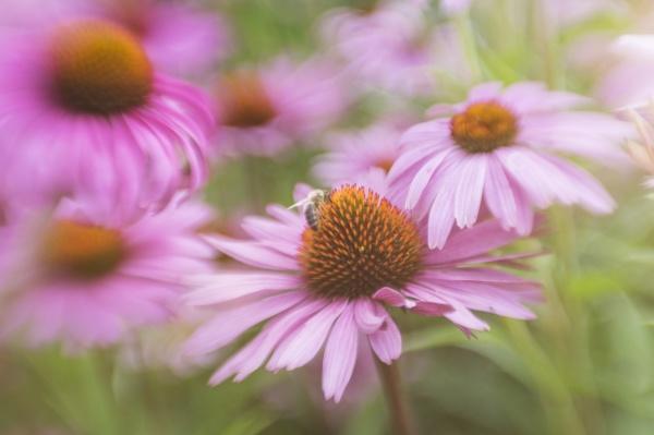 deutschland bumblebee bombus auf einer bluete