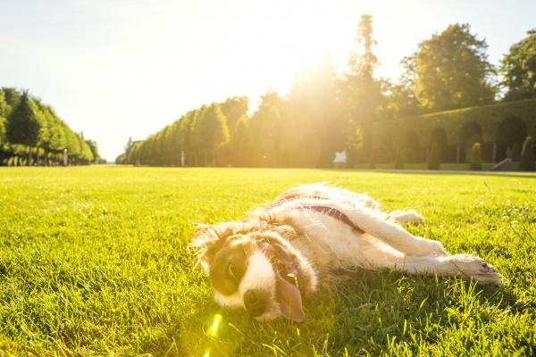 hund canis lupus familiaris auf einer