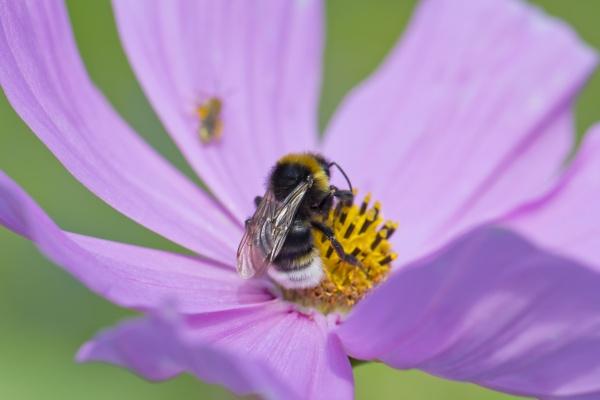 bumble bee bombus auf cosmea sitzen