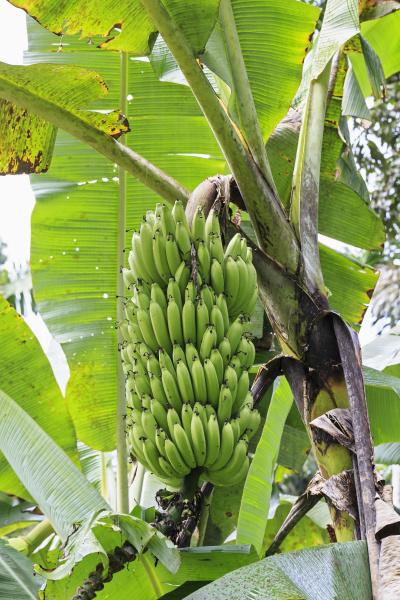 ecuador amazonas river region bananenpflanze