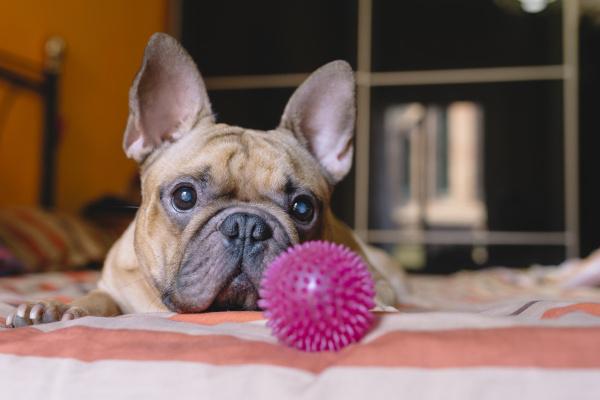 portraet der franzoesischen bulldogge die zu