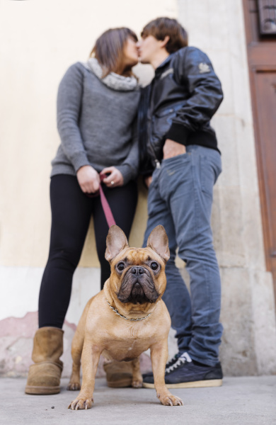 portrait der franzoesischen bulldogge mit den