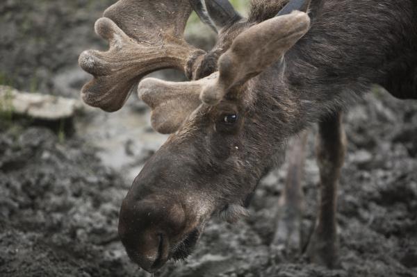 ein elch in der naehe des