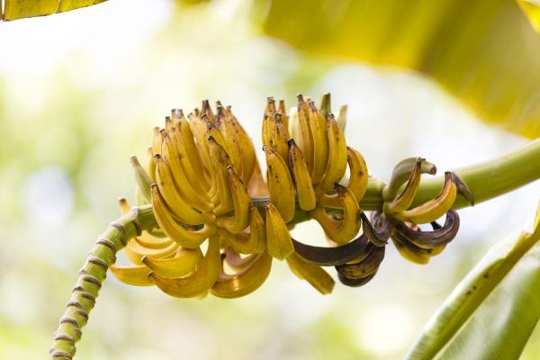 marokko bananenbaum gelb reif