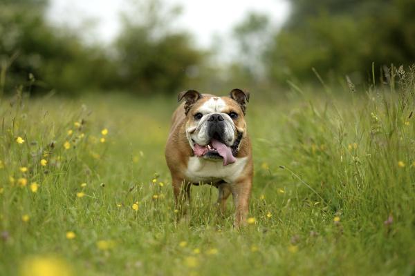 englische bulldogge auf einer wiese