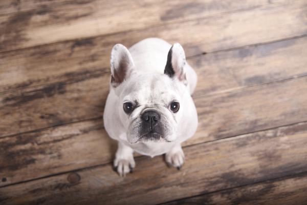 portraet der franzoesischen bulldogge die auf