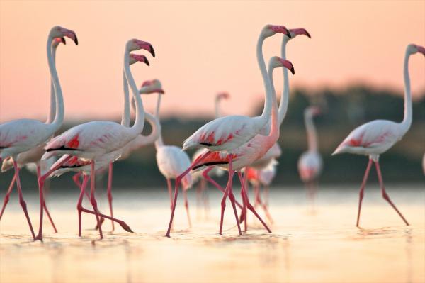 gruppe von flamingos phoenicopterus roseus im