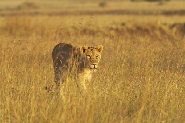 lioness panthera leo spaziergang