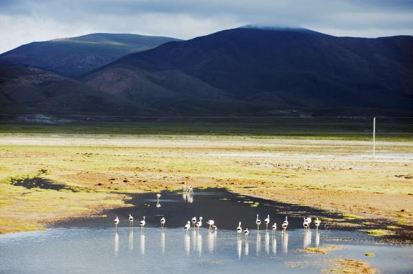 james flamingos phoenicoparrus jamesi