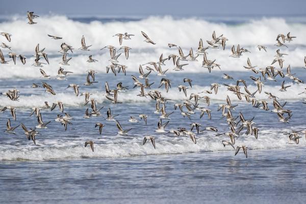 eine schar von wandernden sanderlings calidris