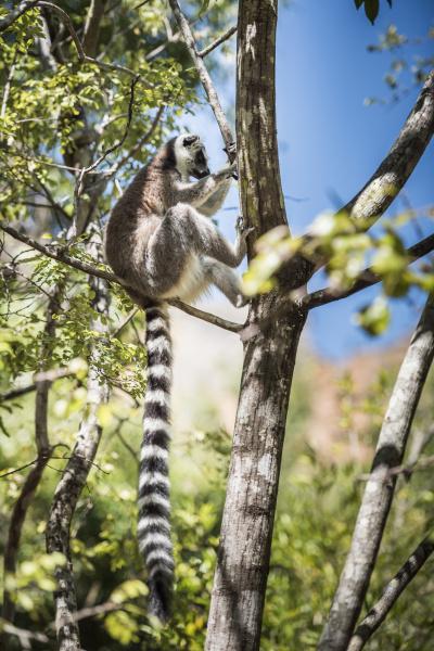 katta lemur catta isalo nationalpark ihorombe