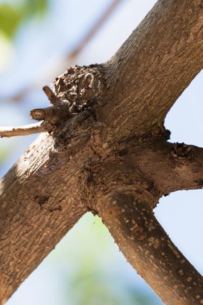 zikade getarnt auf dem baum