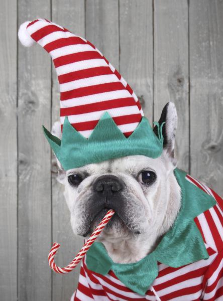portraet der franzoesischen bulldogge verkleidet als