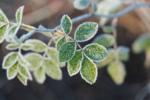 gefrorene blaetter mit frost