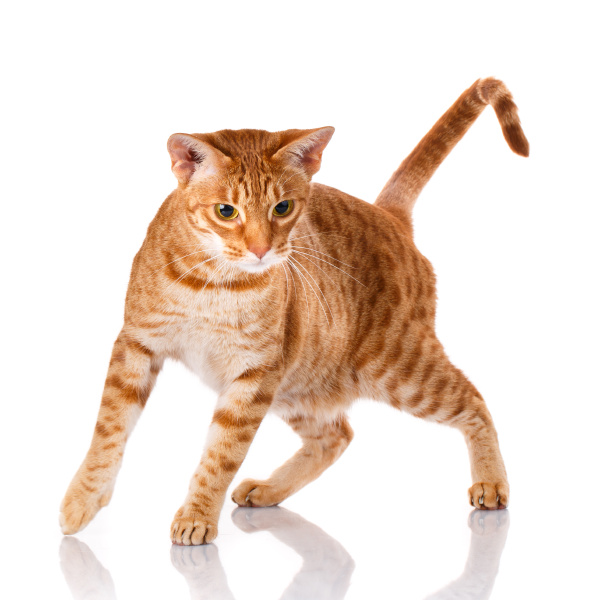 ocicat katze auf weissem hintergrund