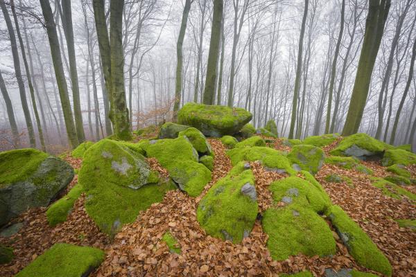 buchenwald fagus sylvatica und felsenmeer im