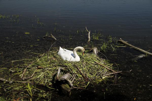brooding swan on a lake